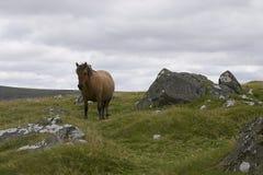 Dartmoor母马小马 免版税图库摄影
