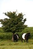 Dartmoor牛 库存图片