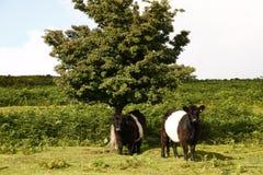 Dartmoor牛 免版税库存图片