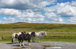 Dartmoor野生小马 免版税库存照片