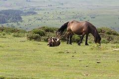 Dartmoor źrebię i konik obraz stock