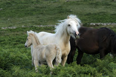 Dartmoor巴洛米诺马驹 库存照片