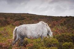 Dartmoor马 免版税库存图片