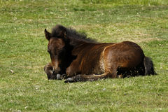 Dartmoor驹 库存图片