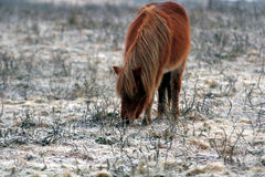 dartmoor breed чисто стоковое изображение rf