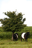Dartmoor bydło Obraz Stock