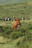 Dartmoor bydło Zdjęcie Royalty Free