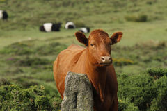 Dartmoor Cattle Stock Photo