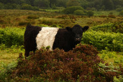 Dartmoor Cattle Stock Photos
