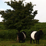 Dartmoor Cattle Royalty Free Stock Images