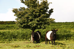 Belted Galloway Cattle Royalty Free Stock Image