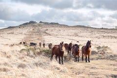 Dartmoor do tor do bellever dos pôneis de Dartmoor Imagens de Stock Royalty Free