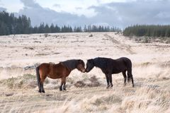 Dartmoor do tor do bellever dos pôneis de Dartmoor Imagem de Stock Royalty Free