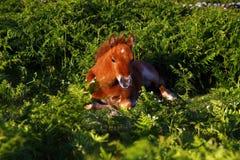 Dartmoor Farn-Schätzchen-Pferd. Lizenzfreies Stockfoto