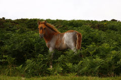 Dartmoor foal in the Ferns. Wild ponies roam the highlands of Dartmoor in Devon Stock Images