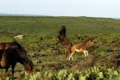 Dartmoor Foals Playing. Dartmoor wild ponies having fun in the sunshine stock image