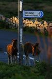 Dartmoor Foals at Cold East Cross Stock Photos