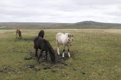 Dartmoor Foals. Grazing on dartmoor Stock Images