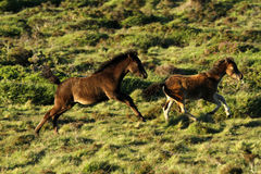 Dartmoor Foals Playing Royalty Free Stock Photography