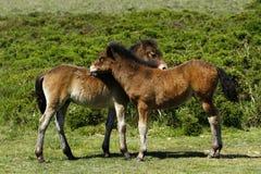 Dartmoor Foals Royalty Free Stock Photo