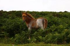 Dartmoor-Fohlen in den Farnen Stockbilder