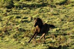 Dartmoor-Fohlen-Spielen Stockbild