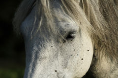 Dartmoor-Hügel-Pony Lizenzfreies Stockbild