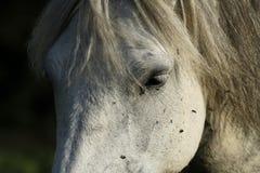 Grey Horse Eye Royalty Free Stock Image