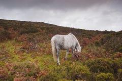 Dartmoor horse Royalty Free Stock Photos