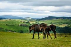 Dartmoor horses Stock Images