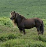 Dartmoor-Kastanien-Hengst Lizenzfreie Stockfotos