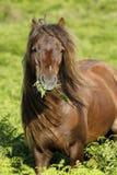 Dartmoor-Kastanien-Hengst Lizenzfreies Stockfoto