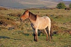Dartmoor konik Fotografia Royalty Free