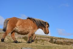 Dartmoor konik, wędruje swobodnie na cumuje fotografia stock