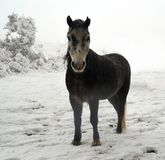 Dartmoor konik w śniegu Obraz Royalty Free