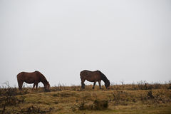 dartmoor koniki zdjęcia stock