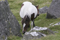 Dartmoor Mare and foal. Hiding behind royalty free stock photo
