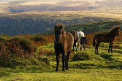 Dartmoor ponies Stock Photos