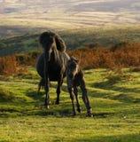 Dartmoor ponies Royalty Free Stock Photos