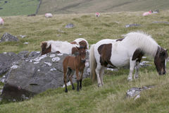 Dartmoor Mare and foal. With sheep in background on Dartmoor National Park stock photos