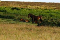 Dartmoor Mare & Foal Royalty Free Stock Photography