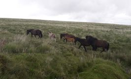 Dartmoor mares with foals. Ponies, native, dartmoor, foals, moors stock image