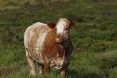 Dartmoor nötkreatur Arkivbilder