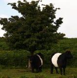 Dartmoor nötkreatur Royaltyfria Bilder