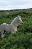 Dartmoor Palomino Foal. Dartmoor or Hill ponies can be any color Royalty Free Stock Photos