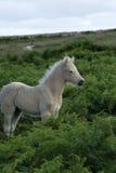 Dartmoor-Palomino-Fohlen Lizenzfreie Stockfotos