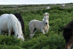 Dartmoor-Palomino-Fohlen Stockbilder