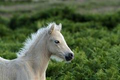 Dartmoor-Palomino-Fohlen Lizenzfreie Stockfotografie