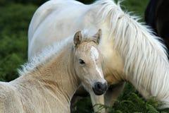 Dartmoor-Palomino-Fohlen Lizenzfreie Stockbilder