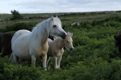 Dartmoor Palomino Mare Royalty Free Stock Photography